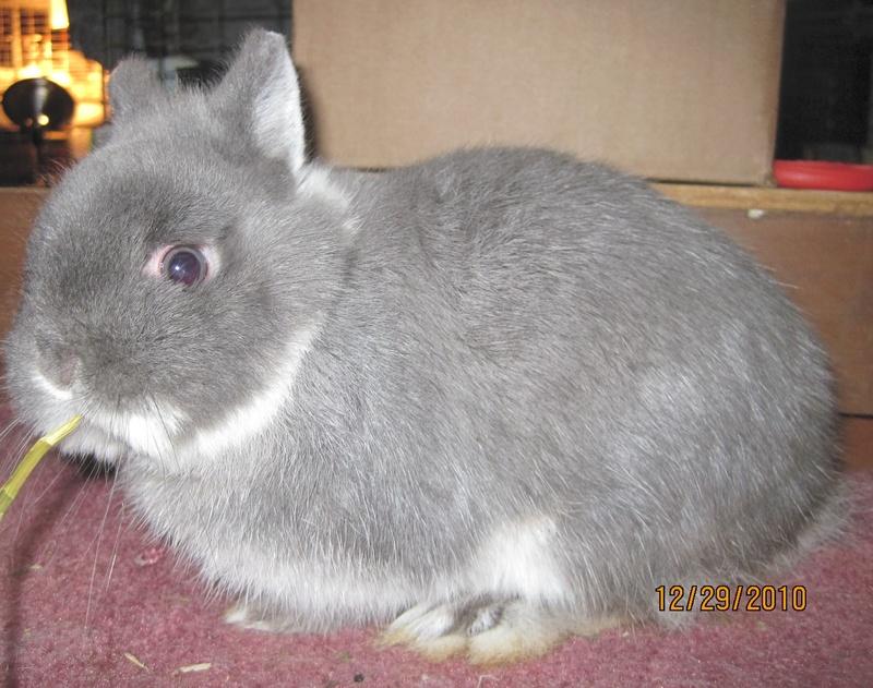 Berbagai macam kelinci ND (Netherland Dwarf)